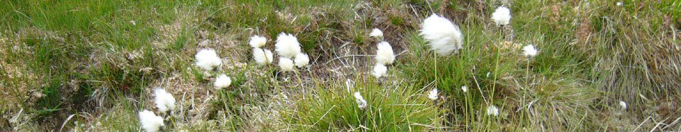Cotton Grass on the moor